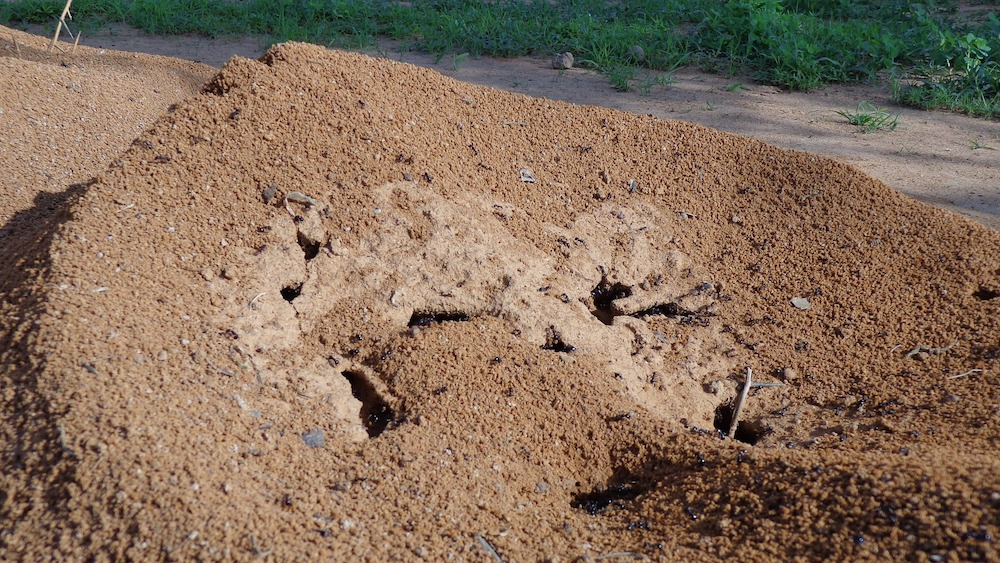 Massive Ant Hill #VinegarUses #Gardening #AllNaturalCleaning #SaveMoney #SaveTime #BudgetFriendly #NonToxic #EnvironmentallyFriendly #PatioCleaning #VinegarCleaning