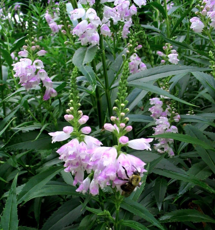 Native Plants for Pollinators Physostegia virginiana or Obedient Plant #MonarchButterflies #Butterflies #SavetheMonarchs #Gardening #Plants #GardenPollinators #AttractMonarchButterflies #NectarRichPlants #BeneficialForPollinators