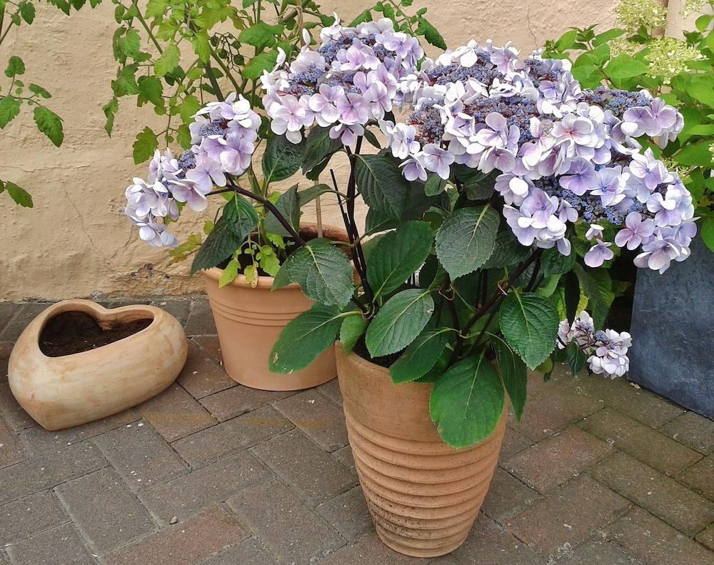 Turn Hydrangeas a Deep Blue Potted Hydrangea #VinegarUses #Gardening #AllNaturalCleaning #SaveMoney #SaveTime #BudgetFriendly #NonToxic #EnvironmentallyFriendly #PatioCleaning #VinegarCleaning