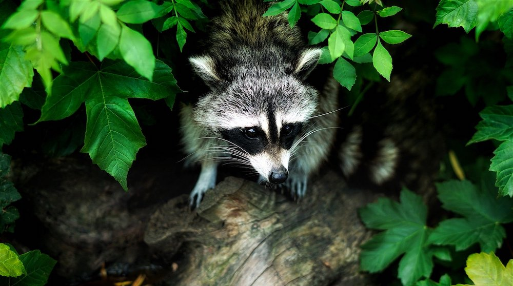 Raccoon Searching for the Vegetable Garden #VinegarUses #Gardening #AllNaturalCleaning #SaveMoney #SaveTime #BudgetFriendly #NonToxic #EnvironmentallyFriendly #PatioCleaning #VinegarCleaning