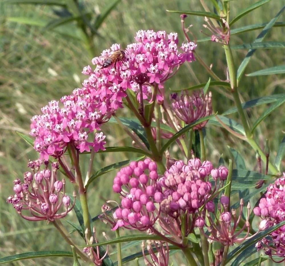 Supports the Life Cycle Rose Swamp Milkweed #MonarchButterflies #Butterflies #Garden #Gardening #Plants #GardenPollinators #AttractMonarchButterflies #NectarRichPlants #BeneficialForPollinators