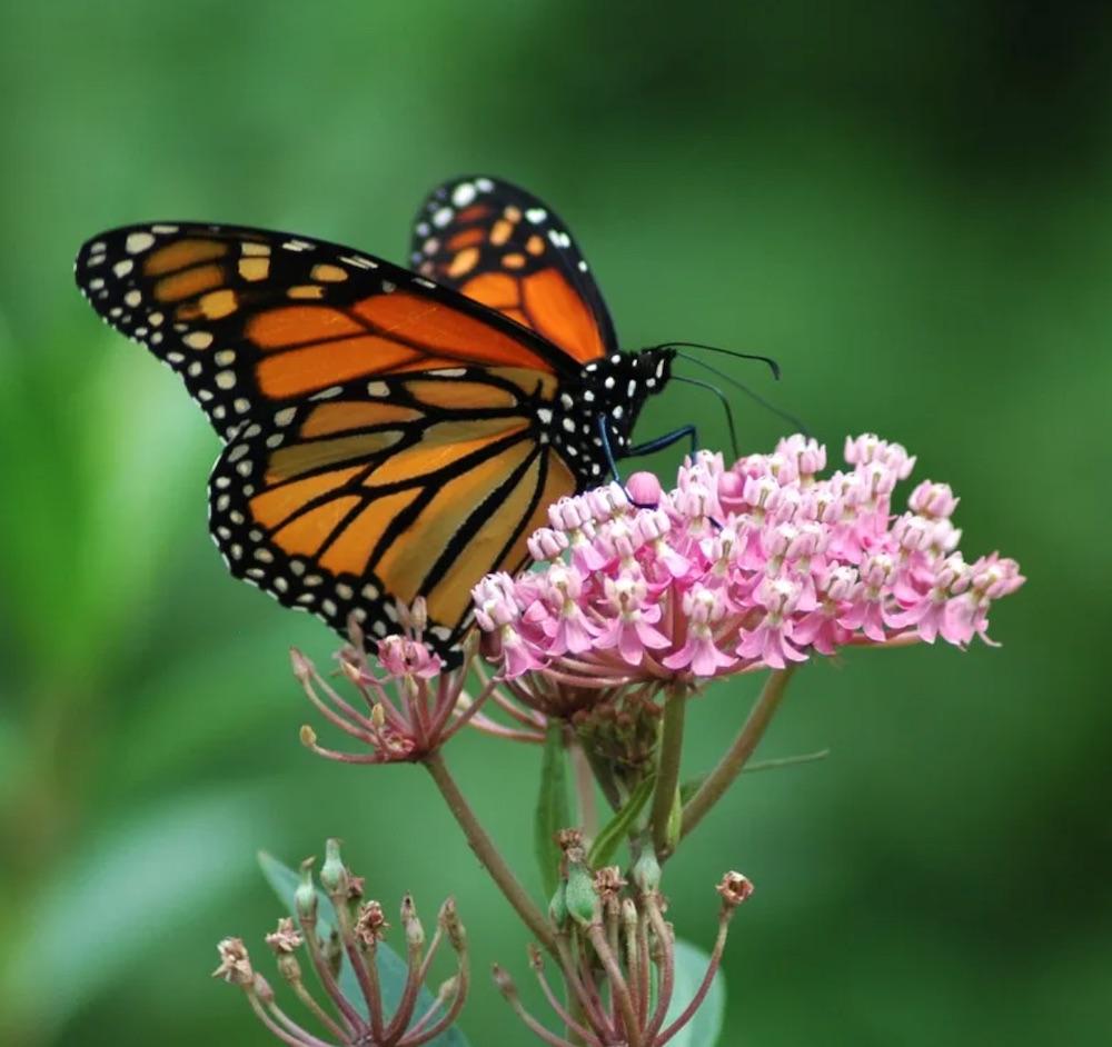 Host Plants for Monarch Butterflies Rose Swamp Milkweed #MonarchButterflies #Butterflies #Garden #Gardening #Plants #GardenPollinators #AttractMonarchButterflies #NectarRichPlants #BeneficialForPollinators