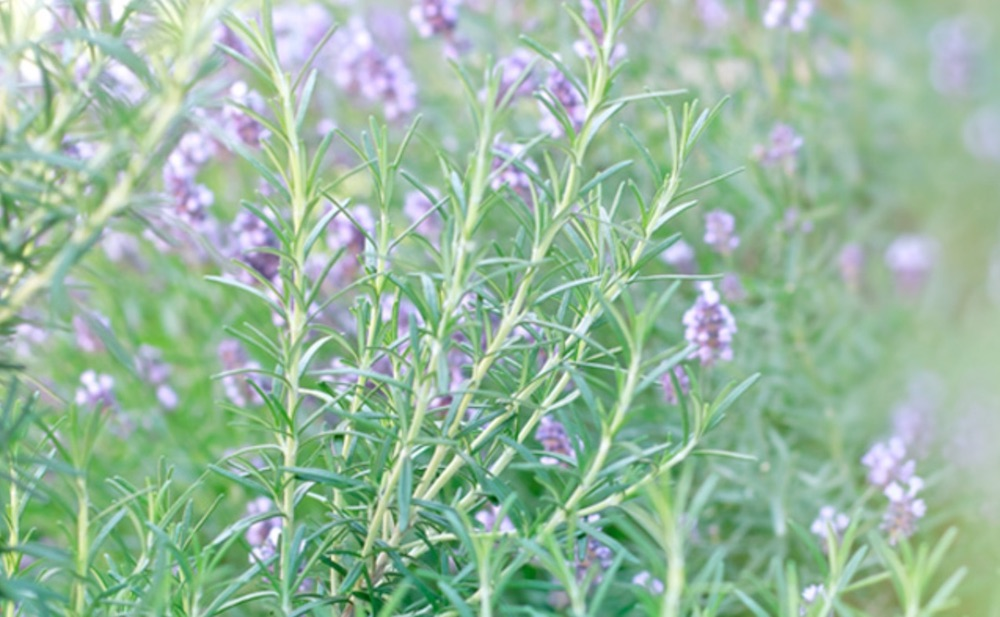 Homemade Cleaners for the Frugal Home Rosemary #CleanHome #HomemadeCleaners #HouseCleaning #HouseKeeping #DIYCleaning #CleanwithVinegar #SaveMoney #SaveTime #BudgetFriendly #NonToxic