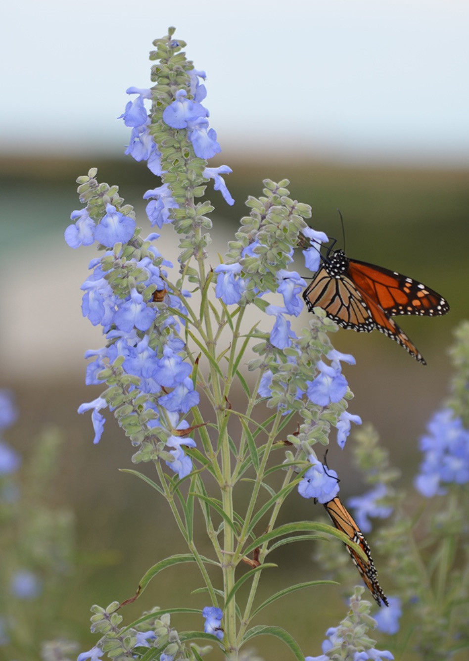 Plants that Attract Monarch Butterflies Salvia azurea or Blue Sage #MonarchButterflies #Butterflies #SavetheMonarchs #Gardening #Plants #GardenPollinators #AttractMonarchButterflies #NectarRichPlants #BeneficialForPollinators