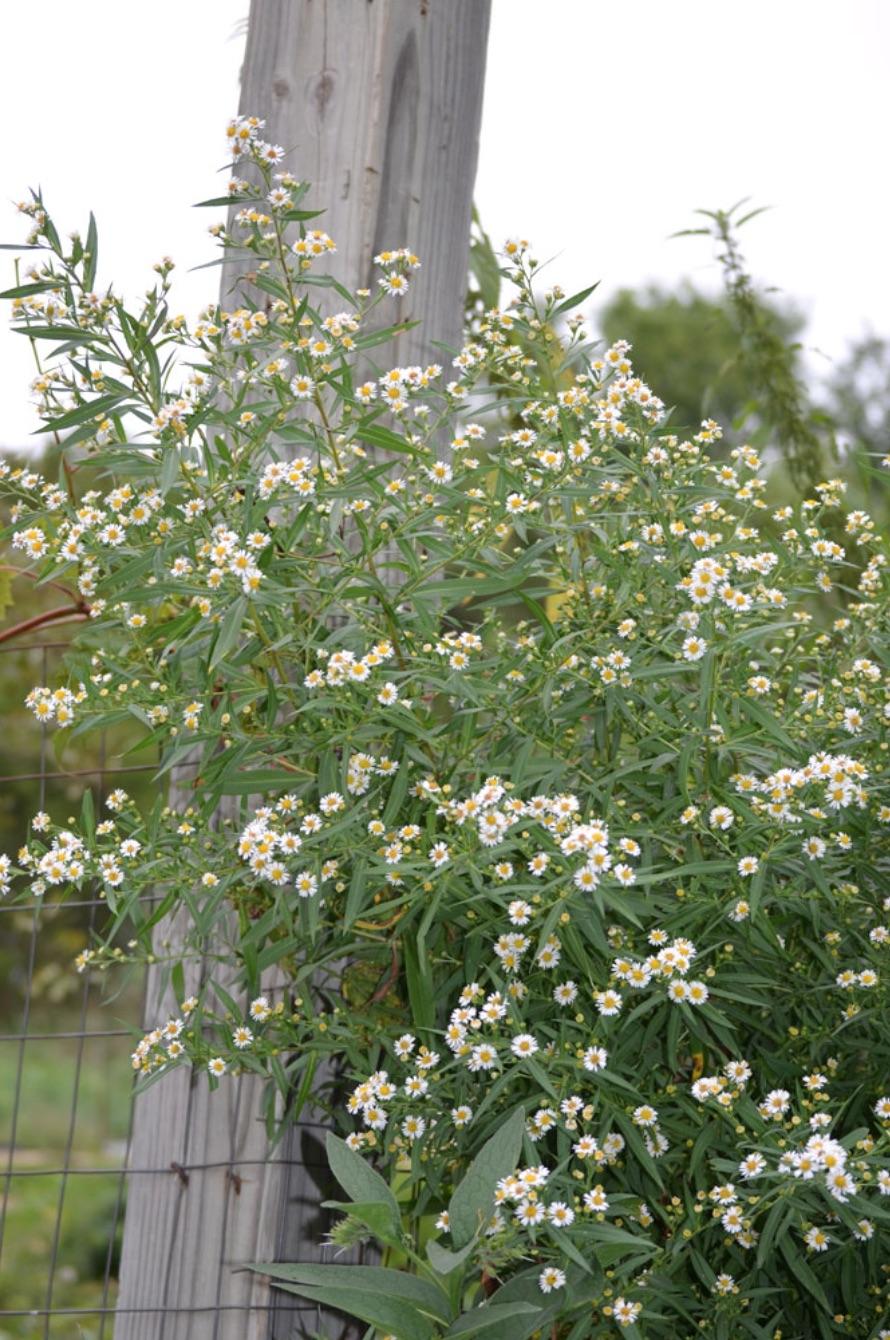 Nectar Rich Plants Symphyotrichum lanceolatum Panicled Aster #MonarchButterflies #Butterflies #SavetheMonarchs #Gardening #Plants #GardenPollinators #AttractMonarchButterflies #NectarRichPlants #BeneficialForPollinators