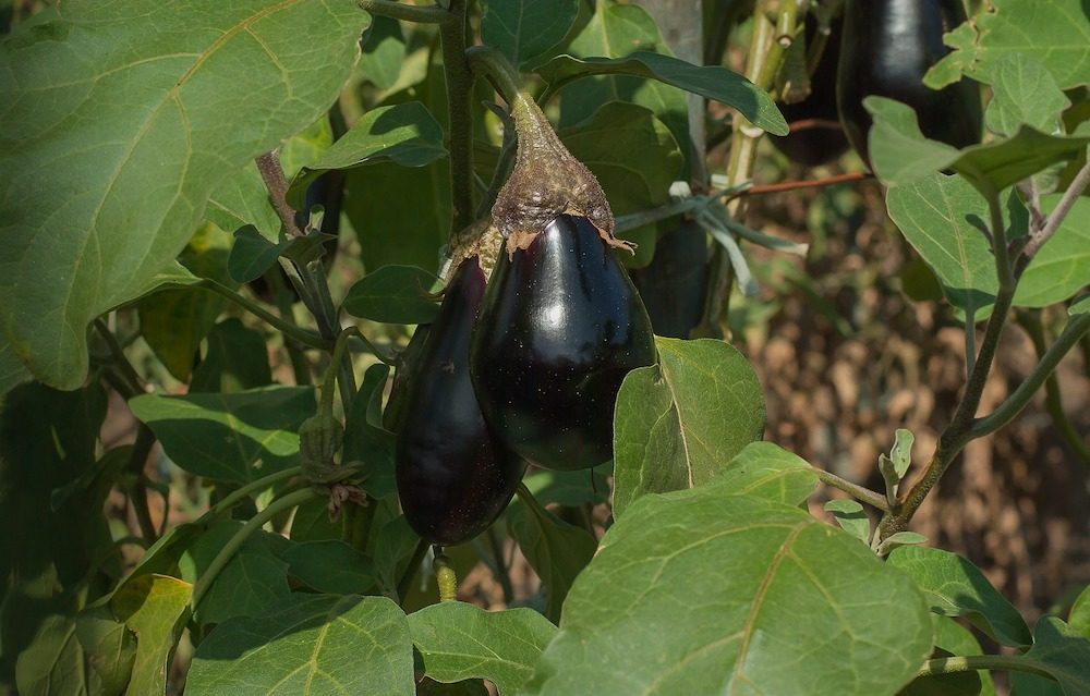 Vegetable Garden with Eggplant #VinegarUses #Gardening #AllNaturalCleaning #SaveMoney #SaveTime #BudgetFriendly #NonToxic #EnvironmentallyFriendly #PatioCleaning #VinegarCleaning