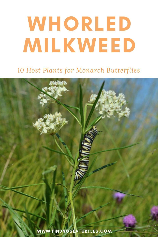 Whorled Milkweed 10 Host Plants for Monarch Butterflies #MonarchButterflies #Butterflies #Garden #Gardening #Plants #GardenPollinators #AttractMonarchButterflies #NectarRichPlants #BeneficialForPollinators
