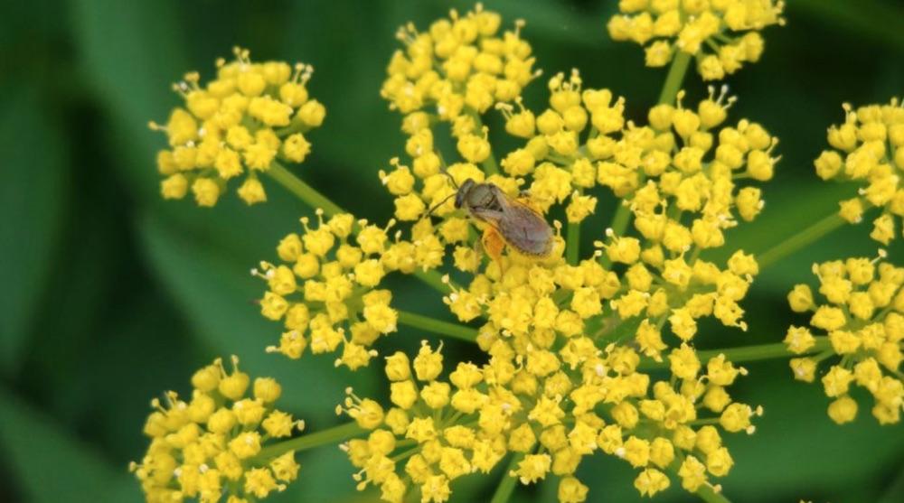 Nectar Rich Zizia aurea Golden Alexanders #MonarchButterflies #Butterflies #SavetheMonarchs #Gardening #Plants #GardenPollinators #AttractMonarchButterflies #NectarRichPlants #BeneficialForPollinators