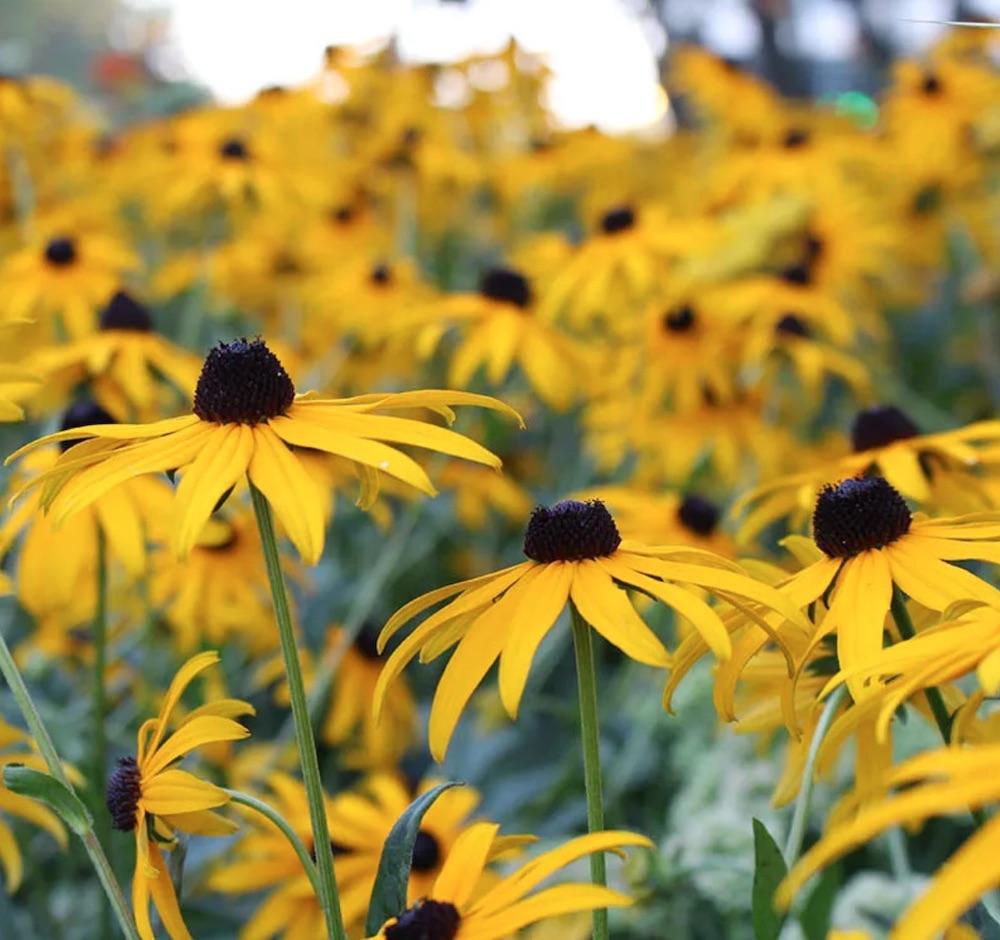 Native Plants that Attract Birds Black-eyed Susan Rudbeckia #Native #NativePlants #NativeGardening #AttractBirds #PlantsForBirds #PlantsForWildlife #BeneficialForPollinators #GardeningForPollinators