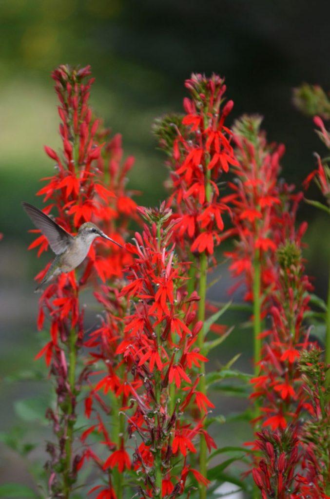 Native Plants that Attract Birds Cardinal Flower Lobelia cardinalis #Native #NativePlants #NativeGardening #AttractBirds #PlantsForBirds #PlantsForWildlife #BeneficialForPollinators #GardeningForPollinators #Native #NativePlants #NativeGardening #AttractBirds #PlantsForBirds #PlantsForWildlife #BeneficialForPollinators #GardeningForPollinators