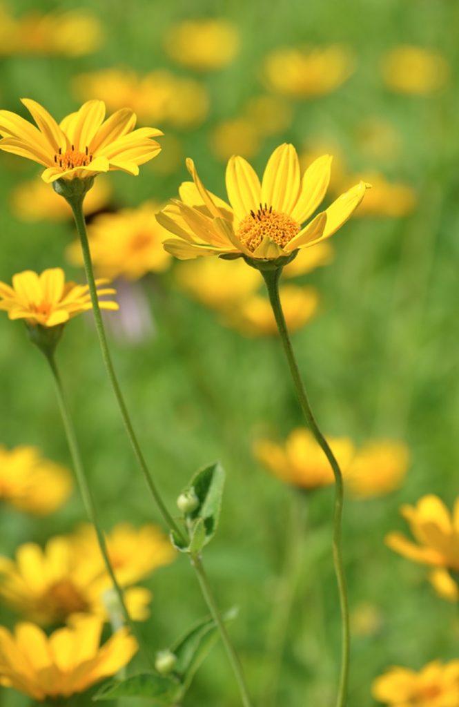 Native Plants that Attract Birds Early Sunflower #Native #NativePlants #NativeGardening #AttractBirds #PlantsForBirds #PlantsForWildlife #BeneficialForPollinators #GardeningForPollinators