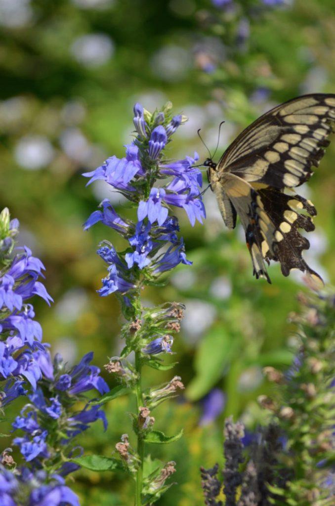 Native Plants that Attract Birds Great Blue Lobelia #Native #NativePlants #NativeGardening #AttractBirds #PlantsForBirds #PlantsForWildlife #BeneficialForPollinators #GardeningForPollinators