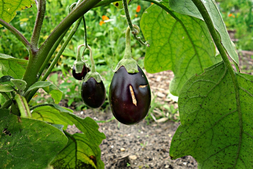 Spring Garden Cleaning Tips Growing Eggplant #SpringGarden #Gardening #SpringCleaning #SprngGardenCleaning #SpringChores #BenefitsofGardening #GardenWorkOut