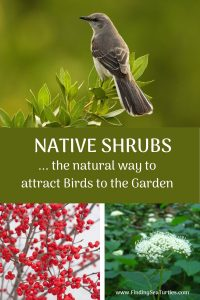 NATIVE SHRUBS the natural way to attract birds to garden #Native #NativePlants #NativeGardening #AttractBirds #ShrubsForBirds #ShrubsForWildlife #BeneficialForPollinators #GardeningForPollinators