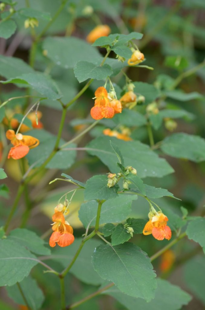 Native Plants that Attract Birds Spotted Touch-me-not Impatiens capensis #Native #NativePlants #NativeGardening #AttractBirds #PlantsForBirds #PlantsForWildlife #BeneficialForPollinators #GardeningForPollinators