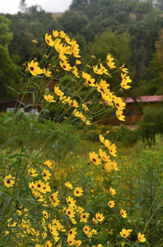 Native Plants that Attract Birds Tall Coreopsis Coreopsis tripteris #Native #NativePlants #NativeGardening #AttractBirds #PlantsForBirds #PlantsForWildlife #BeneficialForPollinators #GardeningForPollinators
