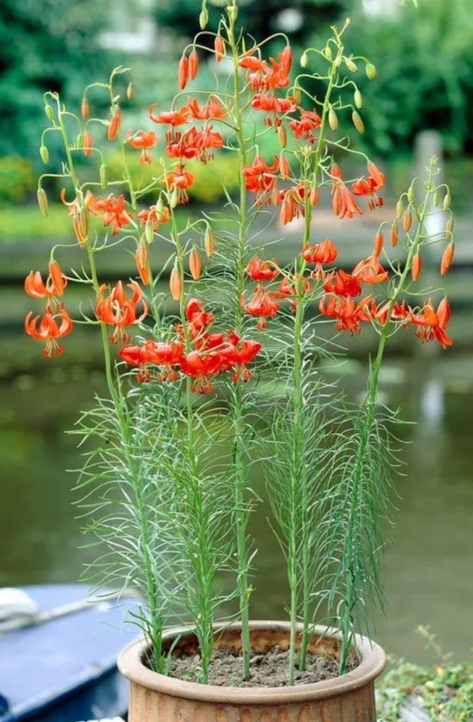 Native Plants that Attract Birds Turk's Cap Lily Bulbs #Native #NativePlants #NativeGardening #AttractBirds #PlantsForBirds #PlantsForWildlife #BeneficialForPollinators #GardeningForPollinators