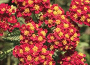 Plants that are Drought Tolerant Achillea m. Strawberry Seduction photo by Wits End Gardens #Garden #Gardening #DroughtTolerant #DroughtResistant #BeneficialForPollinators #GardeningForPollinators #Waterwise #WaterwiseGarden