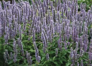 Plants that are Drought Tolerant Agastache Blue Fortune photo by Walters Gardens Inc #Garden #Gardening #DroughtTolerant #DroughtResistant #BeneficialForPollinators #GardeningForPollinators #Waterwise #WaterwiseGarden