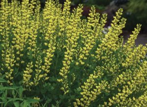 Plants that are Drought Tolerant American Goldfinch Baptisia photo by Walters Gardens Inc #Garden #Gardening #DroughtTolerant #DroughtResistant #BeneficialForPollinators #GardeningForPollinators #Waterwise #WaterwiseGarden