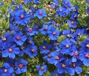 Plants that are Drought Tolerant Anagallis monellii Blue Pimpernel #Garden #Gardening #DroughtTolerant #DroughtResistant #BeneficialForPollinators #GardeningForPollinators #Waterwise #WaterwiseGarden