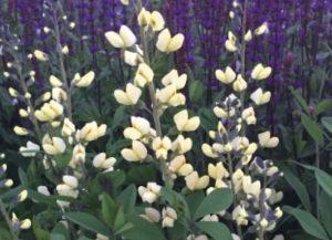 Baptisia Decadence Vanilla Cream photo by Walters Gardens Inc #Garden #Gardening #DroughtTolerant #DroughtResistant #BeneficialForPollinators #GardeningForPollinators #Waterwise #WaterwiseGarden