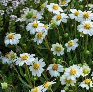 Sandy Soil Black Foot Daisy #Gardening #DroughtTolerant #DroughtResistant #BeneficialForPollinators #GardeningForPollinators #Waterwise #WaterWiseGarden