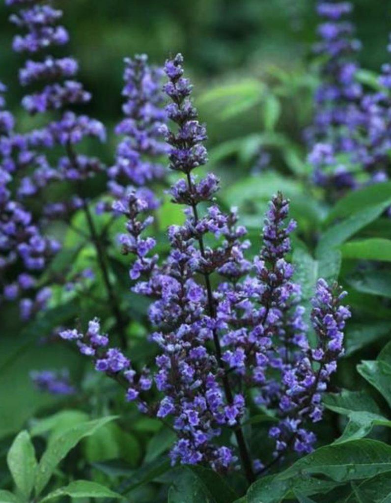 Shrubs that are Drought Tolerant Blue Diddley Vitex #Garden #Gardening #DroughtTolerant #DroughtResistant #BeneficialForPollinators #GardeningForPollinators #Waterwise #WaterWiseGarden