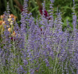 Waterwise Plants Blue Jean Baby Russian Sage #Gardening #DroughtTolerant #DroughtResistant #BeneficialForPollinators #GardeningForPollinators #Waterwise #WaterWiseGarden