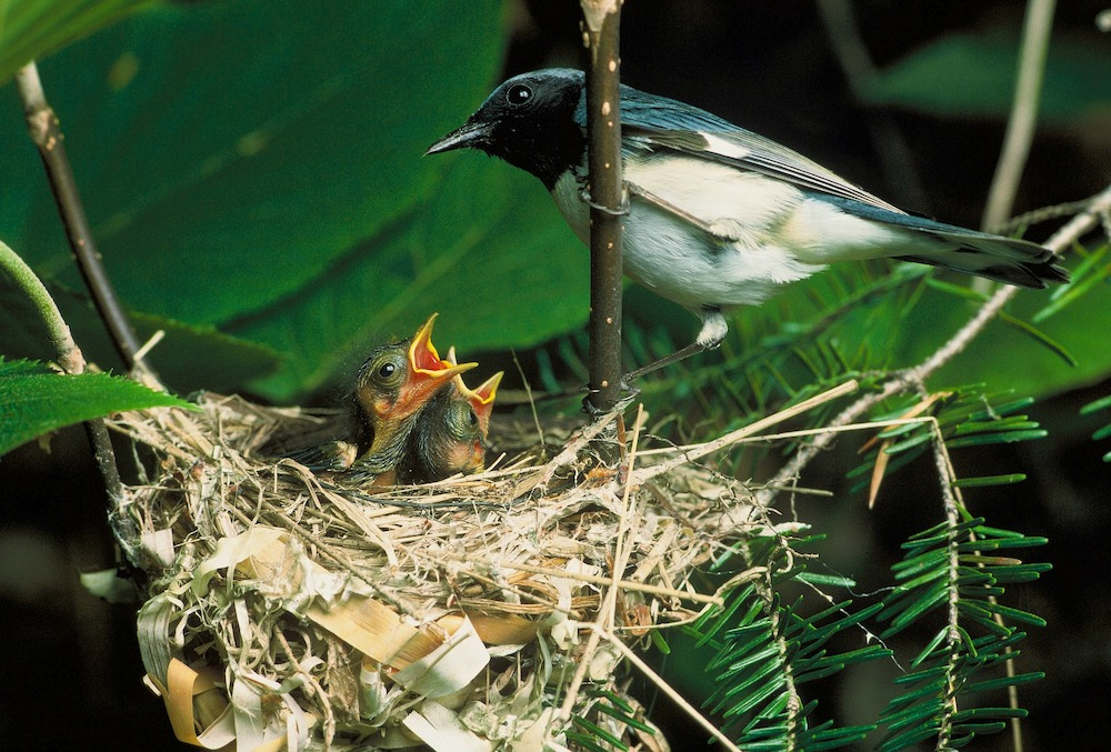 Tips for Providing Nesting Material for Birds Blue Throated Blue Warbler with Baby Blue Warbler and Nest #Wildlife #NativePlants #Gardening #Birds #AttractBirds #NestingMaterials #NestBuilding #BeneficialForPollinators #GardeningForPollinators