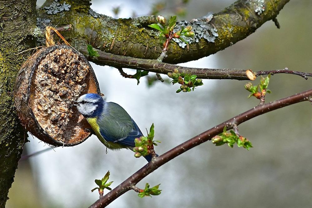Blue Tit Feeding #Wildlife #NativePlants #Gardening #Birds #AttractBirds #NestingMaterials #NestBuilding #BeneficialForPollinators #GardeningForPollinators