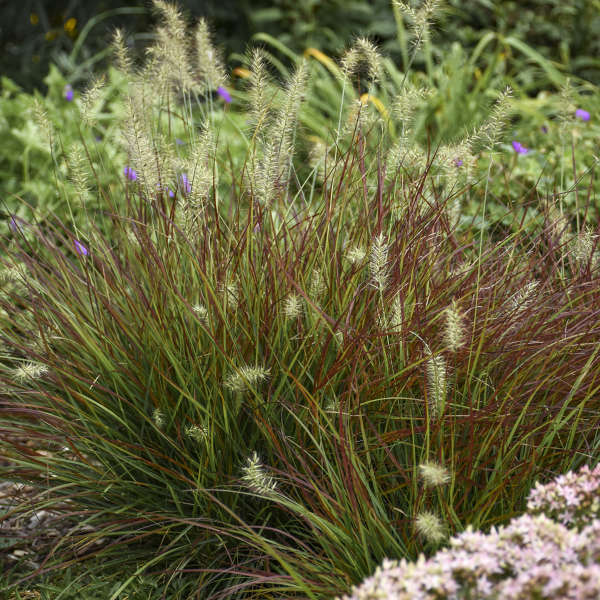 Burgundy Bunny Pennisetum #Mangave #SilverFoxMangave #Garden #Gardening #MadAboutMangave #DroughtTolerant #Succulent #WaltersGardensInc