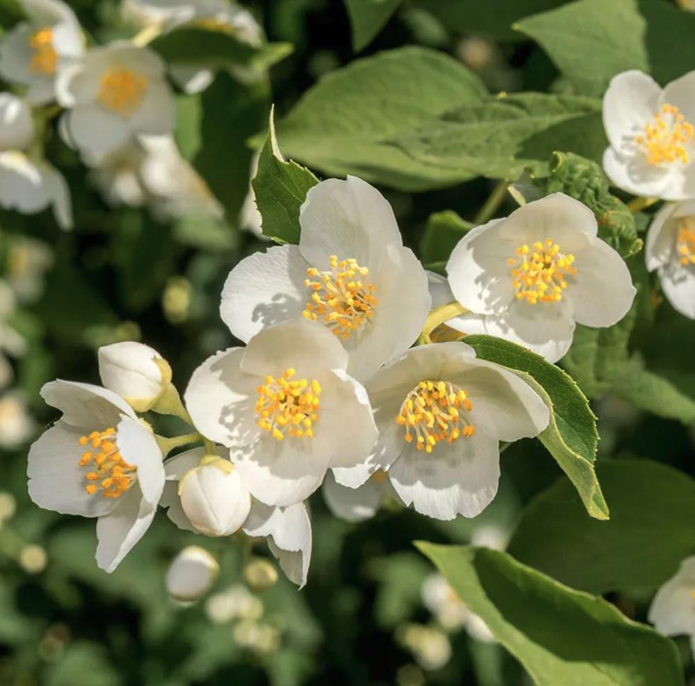 Waterwise Gardening Cheyenne Mock Orange #Garden #Gardening #DroughtTolerant #DroughtResistant #BeneficialForPollinators #GardeningForPollinators #Waterwise #WaterWiseGarden
