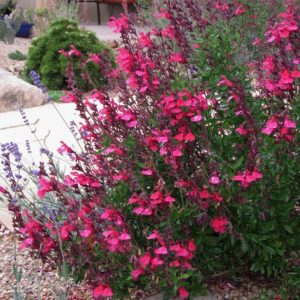 Waterwise Gardens Cold Hardy Pink Texas Salvia #Gardening #DroughtTolerant #DroughtResistant #BeneficialForPollinators #GardeningForPollinators #Waterwise #WaterWiseGarden