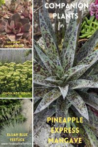 Companion Plants for Pineapple Express Mangave #Mangave #PineappleExpressMangave #Garden #Gardening #MadAboutMangave #DroughtTolerant #Succulent #WaltersGardensInc