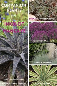 Companion plants for InkBlot Mangave #Mangave #InkBlotMangave #Garden #Gardening #MadAboutMangave #DroughtTolerant #Succulent #WaltersGardensInc