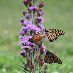 Waterwise Gardening Dotted Blazing Star or Liatris #Gardening #DroughtTolerant #DroughtResistant #BeneficialForPollinators #GardeningForPollinators #Waterwise #WaterwiseGarden