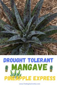 Drought Tolerant Mangave Pineapple Express #Mangave #PineappleExpressMangave #Garden #Gardening #MadAboutMangave #DroughtTolerant #Succulent #WaltersGardensInc
