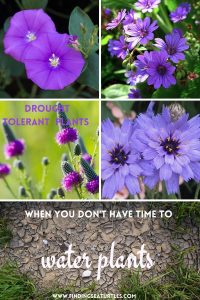 Drought tolerant plants when you don't have time to water plants #Gardening #DroughtTolerant #DroughtResistant #BeneficialForPollinators #GardeningForPollinators #Waterwise #WaterWiseGarden