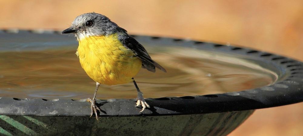 How to Provide a Reliable Water Source for Birds Eastern Yellow Robin #Wildlife #NativePlants #Gardening #AttractBirds #WaterSourceForBirds #WaterForWildlife #BeneficialForPollinators #GardeningForPollinators