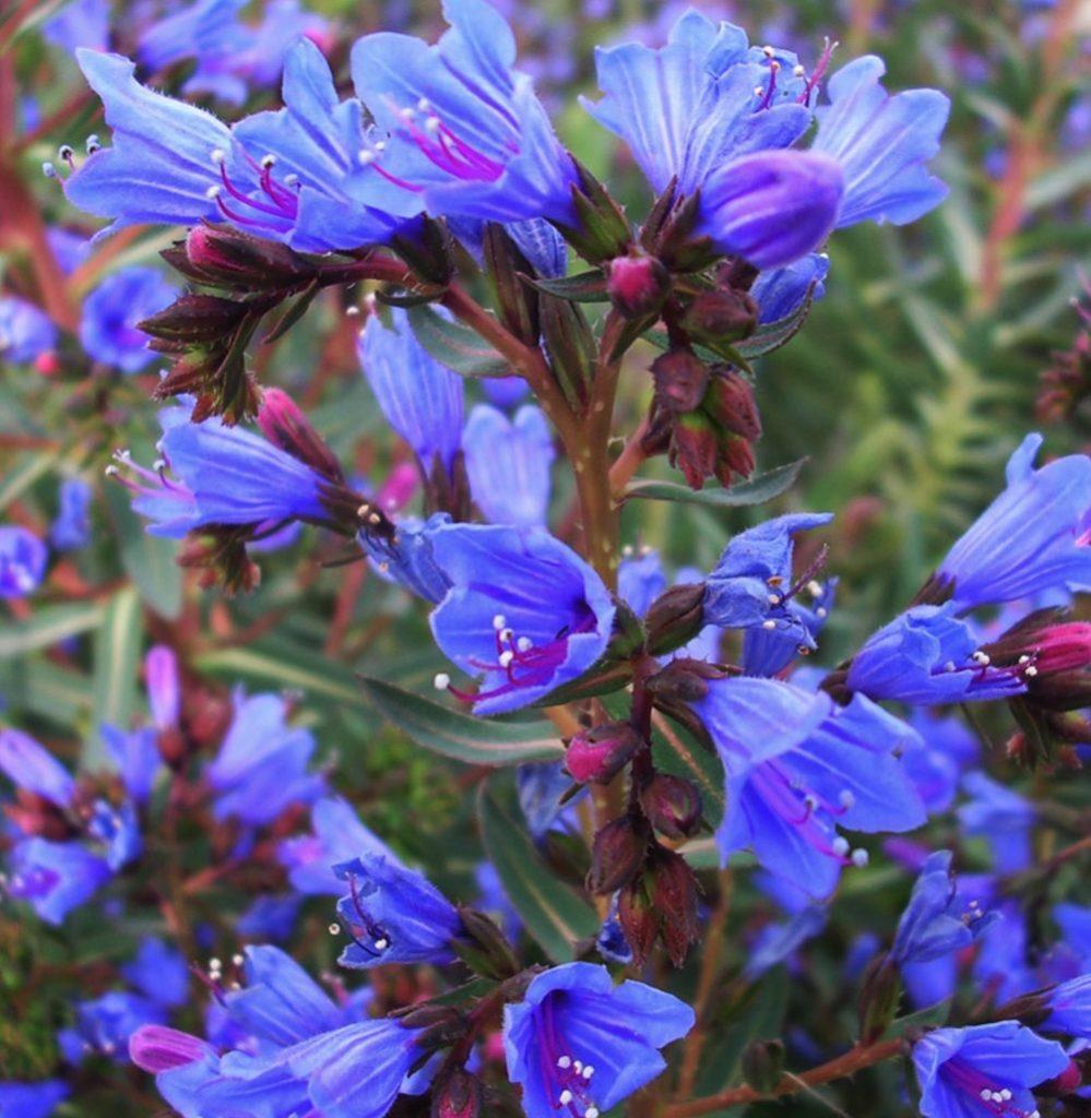 Shrubs that are Drought Tolerant Echium gentianoides Tajinaste #Garden #Gardening #DroughtTolerant #DroughtResistant #BeneficialForPollinators #GardeningForPollinators #Waterwise #WaterWiseGarden