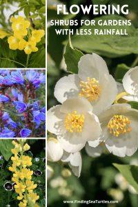 Flowering Shrubs for Gardens with Less Rainfall #Garden #Gardening #DroughtTolerant #DroughtResistant #BeneficialForPollinators #GardeningForPollinators #Waterwise #WaterWiseGarden