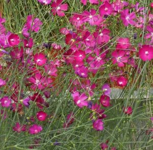 Plants that are Drought Tolerant Fringed Poppy Mallow #Garden #Gardening #DroughtTolerant #DroughtResistant #BeneficialForPollinators #GardeningForPollinators #Waterwise #WaterwiseGarden
