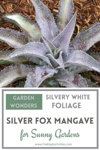 GARDEN WONDERS Silvery White Foliage Silver Fox Mangave #Mangave #SilverFoxMangave #Garden #Gardening #MadAboutMangave #DroughtTolerant #Succulent #WaltersGardensInc