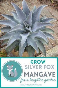 GROW SILVER FOX Mangave for a Brighter Garden #Mangave #SilverFoxMangave #Garden #Gardening #MadAboutMangave #DroughtTolerant #Succulent #WaltersGardensInc