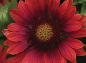 Heat Tolerant Gaillardia g. Mesa Red #Garden #Gardening #DroughtTolerant #DroughtResistant #BeneficialForPollinators #GardeningForPollinators #Waterwise #WaterwiseGarden