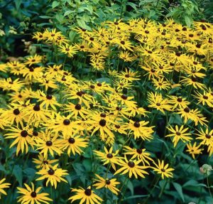 Plants that are Drought Tolerant Goldsturm Black Eyed Susan #Gardening #DroughtTolerant #DroughtResistant #BeneficialForPollinators #GardeningForPollinators #Waterwise #WaterWiseGarden