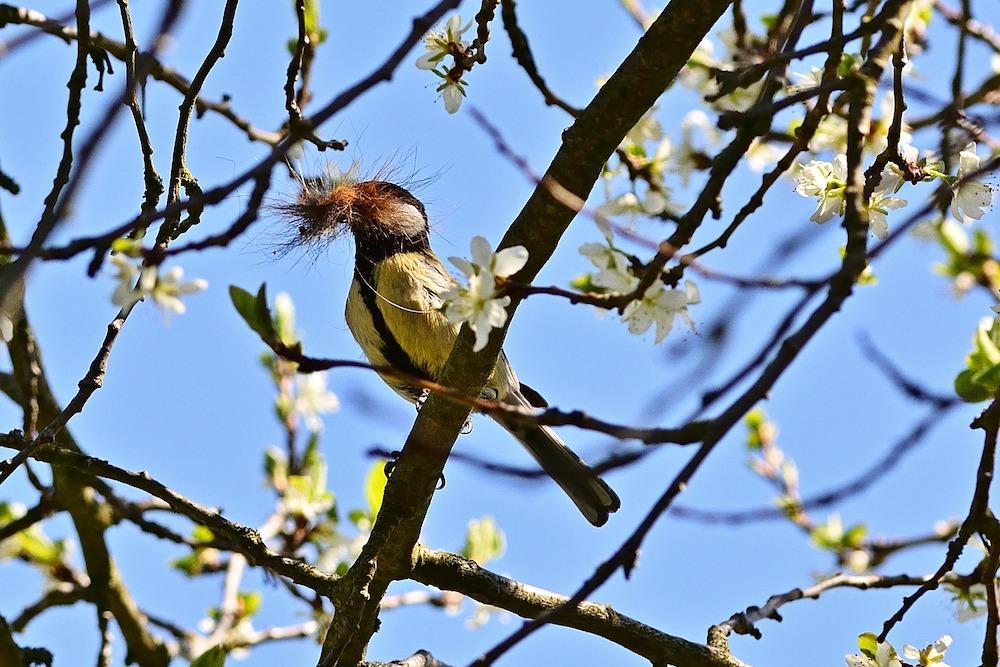 Great Tit with Nesting Material #Wildlife #NativePlants #Gardening #Birds #AttractBirds #NestingMaterials #NestBuilding #BeneficialForPollinators #GardeningForPollinators
