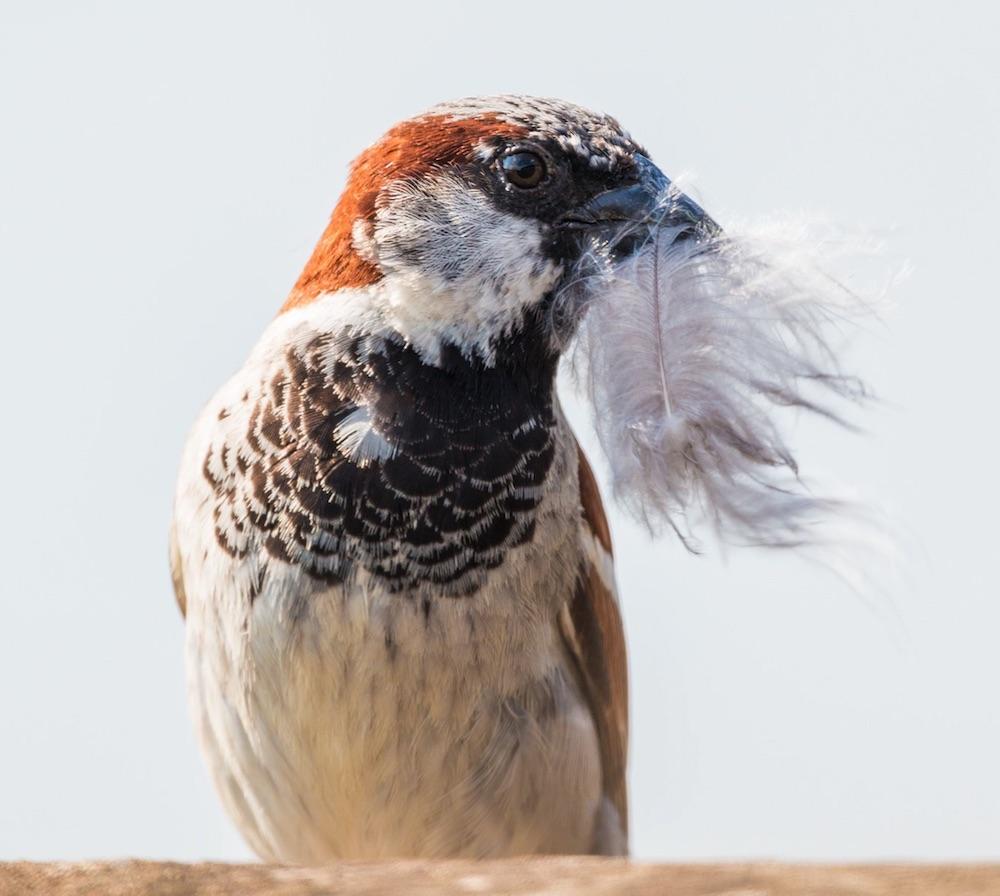 Tips for Providing Nesting Material for Birds House Sparrow #Wildlife #NativePlants #Gardening #Birds #AttractBirds #NestingMaterials #NestBuilding #BeneficialForPollinators #GardeningForPollinators