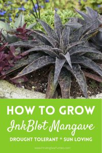 How to Grow Inkblot Mangave Drought Tolerant Sun Loving #Mangave #InkBlotMangave #Garden #Gardening #MadAboutMangave #DroughtTolerant #Succulent #WaltersGardensInc